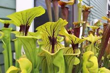 S-036 Rubricorpora 'Andrew Marshall' x Ornata 'Phil Faulisi' Sarracenia Seeds