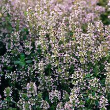 Herb Seeds - Thyme - 1000 Seeds