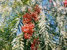 Schinus molle CALIFORNIA PEPPER TREE Seeds!