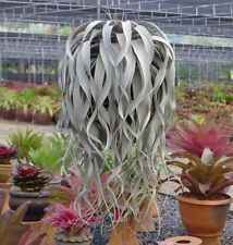 Tillandsia Xerographica,HUGE SIZE 12'' UP,10 YEARS Air Plant ,  USA FREE SHIP