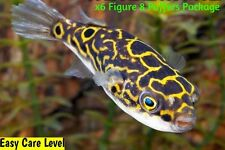 """New listing x8 Figure Eight Puffer Fish - Large 2 1/2 - 3 1/2"""" Each - Freshwater Fish"""