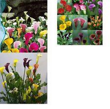 25x Calla Lilien Blumen Samen Saatgut Pflanze Rarität Frisches Blumensamen  #113