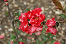 Flowering Quince Proven Winners® Double Take Pink Storm Perennial Shrub Qt Pot
