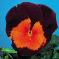 Pansy - Joker Jolly - 50 Seeds