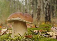Boletus Edulis - Mycelium - Fungi Forest - Grow Your Own Mushrooms!