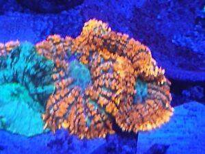 1 Superman Rhodactis Orange Mushroom Soft Marine Reef Live Coral Frag