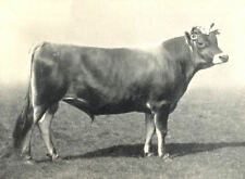 "JERSEY BULL. 2 year old ""Golden Beam"" Bath W England show, 1908 1912 print"