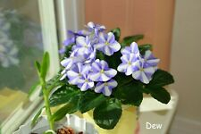 "African Violet Chimera ""Milky Blue"" - Plant in Bloom!"