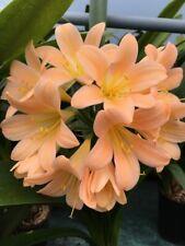 Clivia miniata Dark Peach x 3 Seed. UK National Collection Holders.