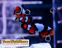 TWO (X2) LIVE BLACK ICE CLOWN FISH (PAIR) MED - WITH FREE BUBBLE ANEMONE