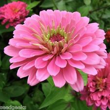 Zinnia, Luminosa Heirloom Seeds - Non-Gmo - Untreated - Open Pollinated!