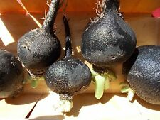 Radish, BLACK SPANISH ROUND , 400 Heirloom, Non-gmo, Seeds FREE SHIPPING