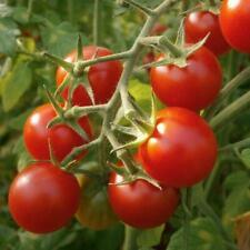 30 graines de tomate cerise rouge  bio de  mon jardin en Bretagne permaculture 3