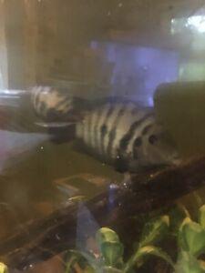 "Black or Pink Convict Cichlid 1-3"" Live Freshwater Tropical Aquarium Fish"