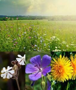 1.00 to 20.00 Kg BULK DIVERSE WILDFLOWER MEADOW SEEDS. UK Native Species
