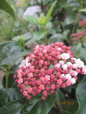 Viburnum tinus Lisarose Loren - Schneeball Lisarose Loren