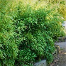 Fargesia rufa, winterharter Bambus, ideal für Hecken und Kübel, keine Ausläufer