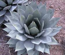 Agave Parryi - 10 Seeds - Cold Hardy Century Plant - Spikey Succulent Leaves
