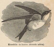 C8421 Hirundo urbica - Stampa antica - 1892 Engraving