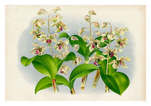 Dendrobium Atroviolaceum by Jean Linden Orchids A4 Art Print