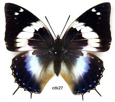 Butterfly - 1 x mounted female Charaxes cithaeron kennethi Good (A1-)
