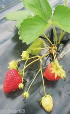 Perpetual strawberry Queen Elizabeth remontant 10 seeds S1250