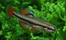 (Live Pair) Bluefin Killifish - (Lucania goodei) Breeding Pair - Male and Female