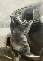 Vintage Postcard, Bear On Old Car, Bear, Canada Vintage Rare RPPC P73