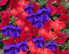 30+ PETUNIA RED AND PURPLE FLOWER SEEDS MIX / ANNUAL