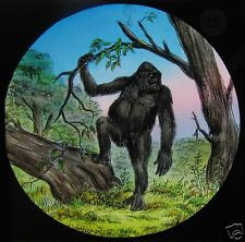 Glass Magic Lantern Slide A Gorilla In The Jungle C1910