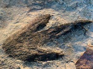 Grallator Dinosaur Footprints Tracks Fossil from The Jurassic of Massachusetts