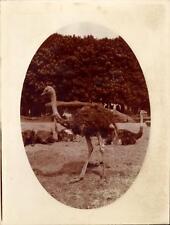 Snapshot exposition coloniale mai 1931 Autruches Jardin zoo photo vintage