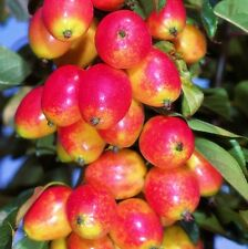 Malus John Downie Crab Apple Tree Bare Root Ornamental Fruiting Outdoor Plant