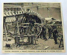 small 1889 magazine engraving ~ MOUNTING A WHALE'S SKELETON, PARIS MUSEUM France
