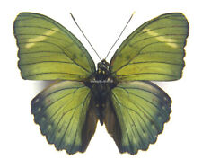 Unmounted Butterfly/Nymphalidae - Euphaedra albofasciata, male, A-