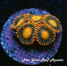 New York Reef Aquatic - 0611 F1 Orange Blondie Zoanthid, Zoa, Wysiwyg Live Coral