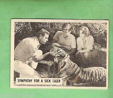 SCANLENS 1966  DAKTARI  TV CARD #26  SYMPATHY FOR A SICK TIGER
