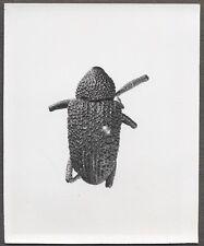 Unusual Vintage Photo Beetle Bug Scientific Specimen Entomology 258108