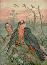 Naumann 1905 Naturgeschichte der Vogel Red-Footed Falcon