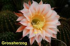 Großherzog, Gr 3 cm, Echinopsis Hybride, Neuheit #224