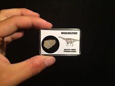 Coquille d'oeuf de dinosaure Megaloolithus Fossile / Eggshell dinosaur!