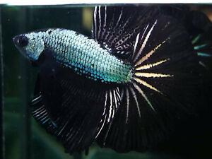 Premium Live Betta Fish l Male Halfmoon Copper Dragon Plakat