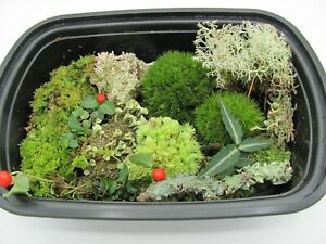 Live Assortment Lot of Moss, Lichen and Woodland Plants Fairy Gardens, Terrarium