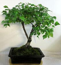 *CBG, Outdoor - Bonsai, einheimische Birke, Betula pendula, ca. 25 Jahre, 702