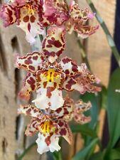 🌿Oncidium Wilsonara Eye Candy 'Penny Candy' Orchid Plant-Nice Plant !