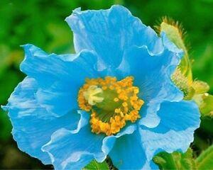 Himalayan Poppy seeds