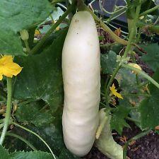 White Dream weiße Salatgurke für Gewächshaus und Freiland Bianco Lungo