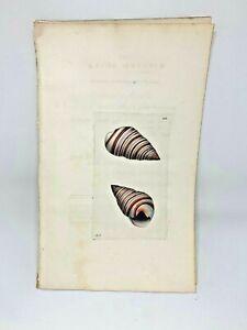 Ribbed Bulla Seashell - 1783 RARE SHAW & NODDER Hand Colored Copper Engraving