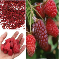 Giant Red Raspberry Bonsais Garden Fruit Plant Juicy Delicious Free Shipping NEW