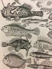 Two Antique Ichthyology Fish Type Prints Detailed 19th Century Ready To Frame